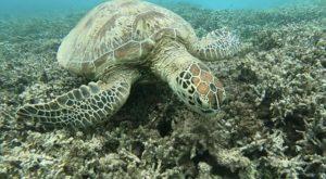 奄美の海亀